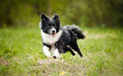 Should Your Dog Take a Joint Supplement?