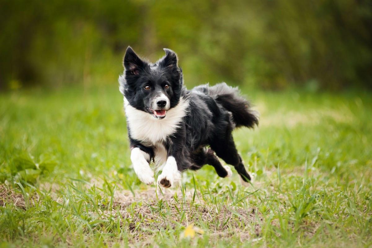 dog torn ligament treatment