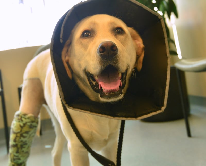 Dog recovering after successful TPLO Surgery to repair a torn ACL