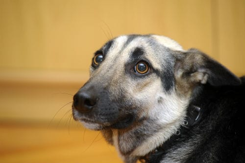 What are the Most Common Phobias and Fear in Dogs?